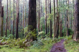 Sherbrooke-Forest-panorama-Dandenong-Ranges-National-Park